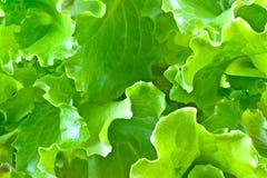 Φύλλα μαρουλιού Στοκ Εικόνες