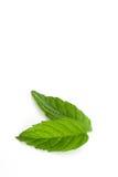 Φύλλα μεντών Στοκ Φωτογραφία