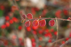 Φύλλα με τον παγετό πρωινού. Στοκ Εικόνες