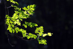 Φύλλα με sunlight2. Στοκ Εικόνες