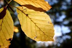 φύλλα οξιών Στοκ φωτογραφία με δικαίωμα ελεύθερης χρήσης