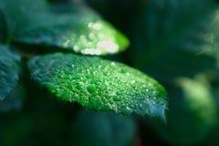 Φύλλα που απομονώνονται πράσινα μετά από τη βροχή στοκ εικόνες