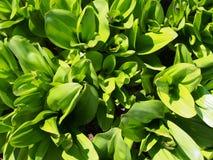Φύλλα πράσινου φυτού στο έδαφος στον ηλιόλουστο κήπο στοκ φωτογραφία με δικαίωμα ελεύθερης χρήσης