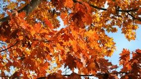 Φύλλα πτώσης σε ένα δέντρο σφενδάμνου με έναν μπλε ουρανό στοκ φωτογραφία