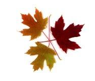 φύλλα πτώσης χρώματος Στοκ Φωτογραφία