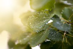 Φύλλα σημύδων με τις πτώσεις του νερού μετά από την κινηματογράφηση σε πρώτο πλάνο βροχής στοκ εικόνα