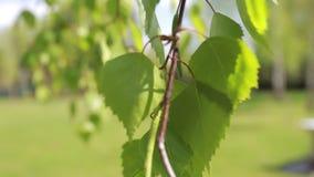 Φύλλα σημύδων στο μουτζουρωμένο υπόβαθρο, αλλαγή της εστίασης απόθεμα βίντεο
