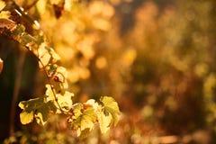 Φύλλα σταφυλιών φθινοπώρου στον ήλιο Θολωμένο πτώση υπόβαθρο στοκ εικόνες με δικαίωμα ελεύθερης χρήσης
