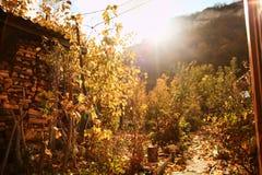 Φύλλα σταφυλιών φθινοπώρου στον ήλιο Θολωμένο πτώση υπόβαθρο στοκ φωτογραφία με δικαίωμα ελεύθερης χρήσης