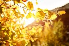 Φύλλα σταφυλιών φθινοπώρου στον ήλιο Θολωμένο πτώση υπόβαθρο στοκ φωτογραφίες με δικαίωμα ελεύθερης χρήσης