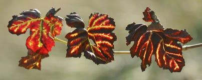 φύλλα σταφυλιών Στοκ εικόνα με δικαίωμα ελεύθερης χρήσης