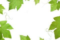 φύλλα σταφυλιών Στοκ Φωτογραφία