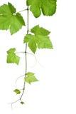 φύλλα σταφυλιών Στοκ φωτογραφία με δικαίωμα ελεύθερης χρήσης