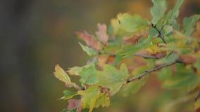 Φύλλα στη βαλανιδιά στη φύση φθινοπώρου, δέντρο απόθεμα βίντεο