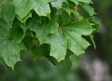 φύλλα σφενδάμου μετά από τη βροχή στοκ φωτογραφία