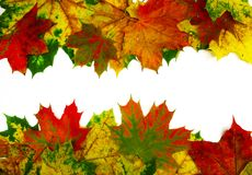 Φύλλα σφενδάμου που απομονώνονται ζωηρόχρωμα στο λευκό Στοκ φωτογραφία με δικαίωμα ελεύθερης χρήσης