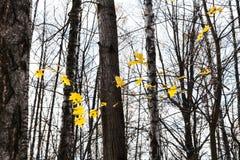 φύλλα σφενδάμου που φωτίζονται κίτρινα από τον ήλιο στο δάσος στοκ εικόνα με δικαίωμα ελεύθερης χρήσης