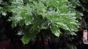 Φύλλα σφενδάμου στη βροχή απόθεμα βίντεο