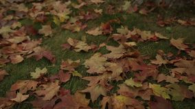 Φύλλα σφενδάμου στο έδαφος στον κόκκινο χρόνο φθινοπώρου απόθεμα βίντεο