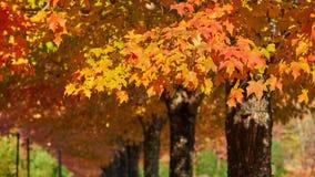 Φύλλα σφενδάμου στο δενδρολογικό κήπο της βόρειας Καρολίνας στοκ φωτογραφία