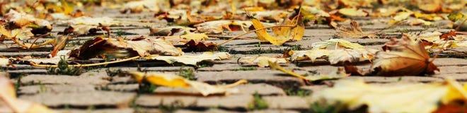 Φύλλα σφενδάμου φθινοπώρου στην πορεία στο πάρκο Στοκ φωτογραφία με δικαίωμα ελεύθερης χρήσης