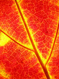 Φύλλα σφενδάμου φθινοπώρου υποβάθρου στοκ φωτογραφίες