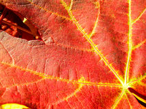 Φύλλα σφενδάμου φθινοπώρου υποβάθρου Στοκ Εικόνες