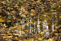 Φύλλα σφενδάμου φθινοπώρου Στοκ Εικόνα
