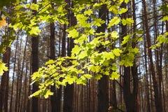 Φύλλα σφενδάμου 1 Στοκ Εικόνα