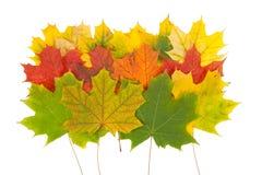 Φύλλα σφενδάμου Στοκ φωτογραφίες με δικαίωμα ελεύθερης χρήσης