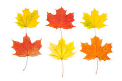 Φύλλα σφενδάμου στοκ φωτογραφίες