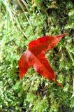 Φύλλα σφενδάμου Στοκ Εικόνα