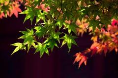 Φύλλα σφενδάμου Στοκ Εικόνες