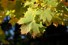 Φύλλα σφενδάμου φθινοπώρου Στοκ Φωτογραφίες