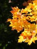 Φύλλα σφενδάμου φθινοπώρου Στοκ εικόνα με δικαίωμα ελεύθερης χρήσης