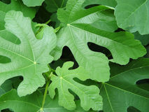 φύλλα σύκων Στοκ Φωτογραφίες