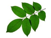 φύλλα τέφρας Στοκ φωτογραφία με δικαίωμα ελεύθερης χρήσης