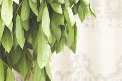 Φύλλα της δάφνης Στοκ εικόνα με δικαίωμα ελεύθερης χρήσης