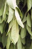 Φύλλα της δάφνης Στοκ Φωτογραφίες