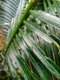 Φύλλα της καρύδας Στοκ Εικόνες