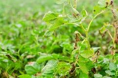 Φύλλα της πατάτας με τις ασθένειες Εγκαταστάσεις της πατάτας κτυπημένο Phytophthora Phytophthora Infestans στον τομέα κλείστε επά στοκ φωτογραφίες