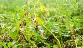 Φύλλα της πατάτας με τις ασθένειες Εγκαταστάσεις της πατάτας κτυπημένο Phytophthora Phytophthora Infestans στον τομέα κλείστε επά στοκ εικόνες