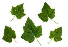 Φύλλα της σταφίδας, κόκκινο σταφίδων, σύνολο φύλλων Στοκ Εικόνες