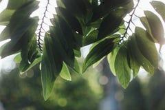Φύλλα της Apple κρέμας Στοκ Εικόνα