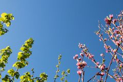 Φύλλα της Hazel και άνθη ροδάκινων στο υπόβαθρο μπλε ουρανού Σχέδιο καρτών άνοιξη με το διάστημα αντιγράφων στοκ εικόνες