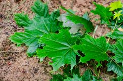 Φύλλα του άγριου ερπυσμού σταφυλιών πέρα από το έδαφος μετά από τη βροχή στοκ εικόνα