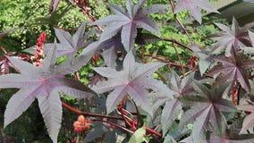 Φύλλα του κάστορα - φυτό Ricinus πετρελαίου κοινό το φθινόπωρο που ταλαντεύεται στον αέρα απόθεμα βίντεο