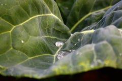 Φύλλα του λάχανου στον κήπο Στοκ Φωτογραφία