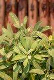 Φύλλα του λογικού χορταριού φυτών, φασκομηλιά στο φυτικό κήπο στοκ εικόνα με δικαίωμα ελεύθερης χρήσης