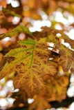Φύλλα του φθινοπώρου - Macea, Arad, Ρουμανία Στοκ Φωτογραφία